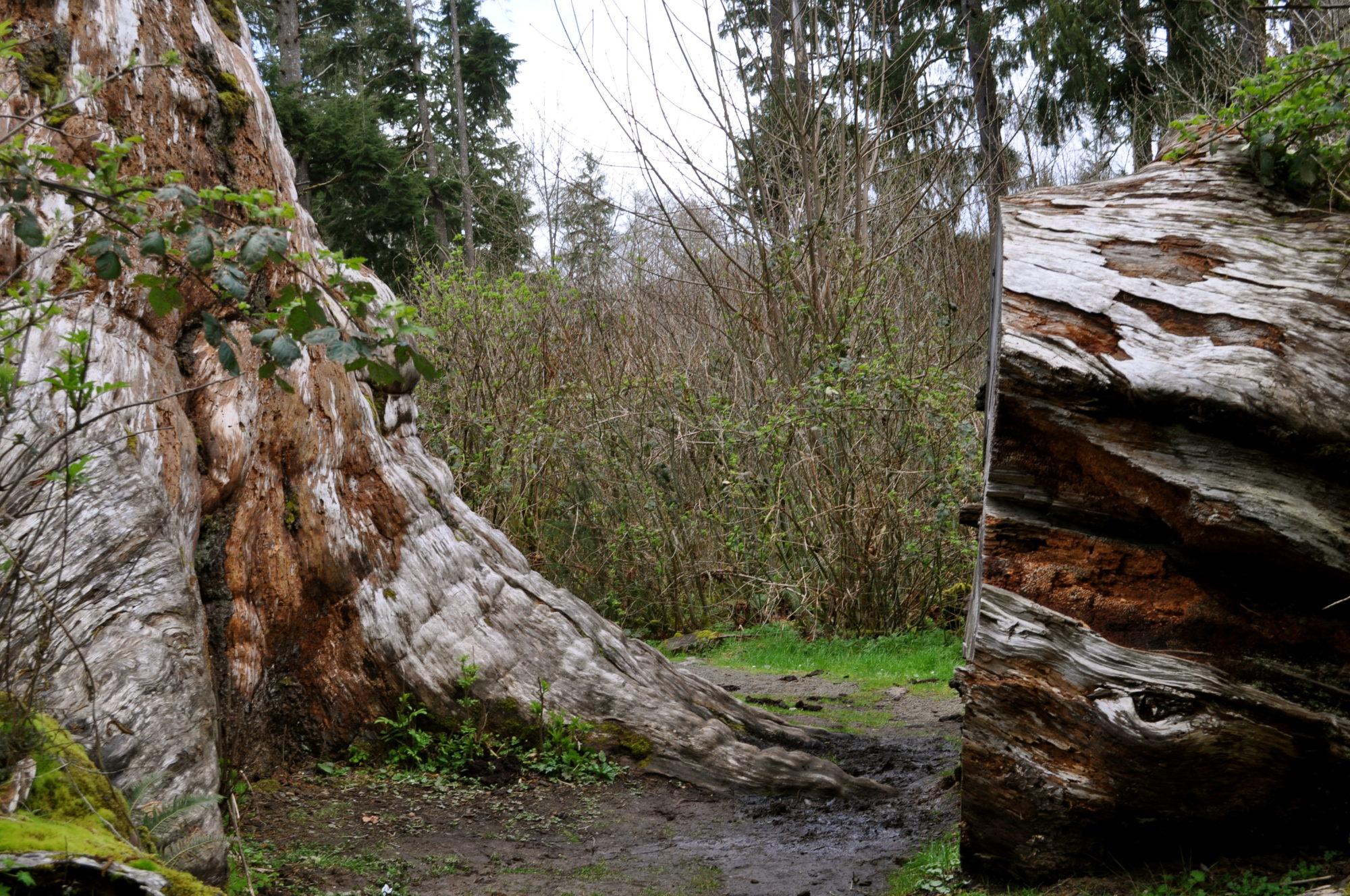 Klootchy Park's Sitka Spruce Tree